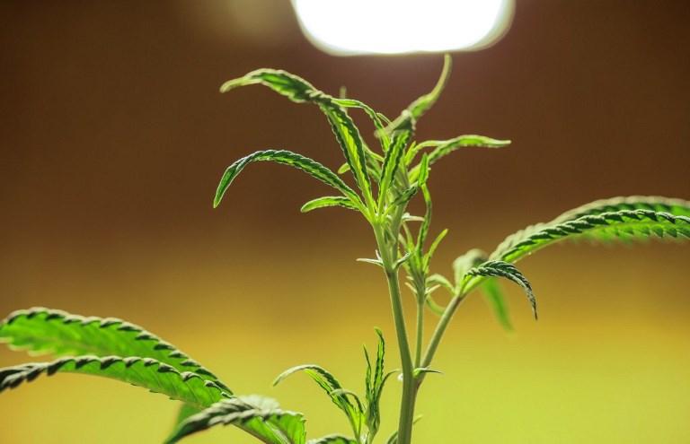 Cannabis Business Grow